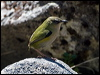 Click here to enter gallery and see photos of: Riflebird, New Zealand Rock Wren/South Island Wren