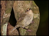 Click here to enter Large-billed Scrubwren photo gallery