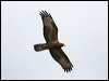 Click here to enter European Honey-Buzzard photo gallery