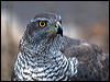 Click here to enter Northern Goshawk photo gallery