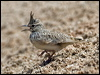Click here to enter Crested Lark photo gallery