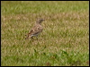 Click here to enter Greater Short-toed Lark photo gallery