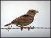 Click here to enter gallery and see photos of: Horsfield's/Australasian Bushlark; Crested, Thekla and Horned Larks; Eurasian Skylark.