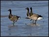 Click here to enter Brent Goose photo gallery