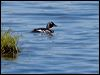 Click here to enter Common Goldeneye photo gallery