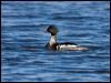 Click here to enter Red-breasted Merganser photo gallery