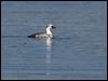 Click here to enter Smew  photo gallery