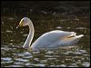Click here to enter Whooper Swan photo gallery