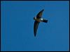 Click here to enter Glossy Swiftlet photo gallery