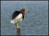 Click here to enter Chinese Pond-heron photo gallery