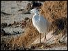 Click here to enter Little Egret photo gallery