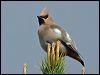 Click here to enter Bohemian Waxwing photo gallery