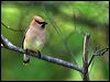 Click here to enter gallery and see photos of: Bohemian, Cedar Waxwing; Long-tailed Silky-flycatcher.