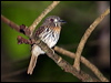 Click here to enter gallery and see photos of: White-whiskered Puffbird, Black-fronted and White-fronted Nunbirds