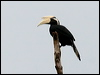 Click here to enter gallery and see photos of: Bushy-crested, Oriental Pied, Black, Rhinoceros and Helmeted Hornbills