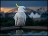 Click here to enter Sulphur-crested Cockatoo photo gallery