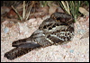 Click here to enter gallery and see photos of: Common Nighthawk; White-throated, White-tailed, Red-necked and Large-tailed Nightjar; Common Pauraque