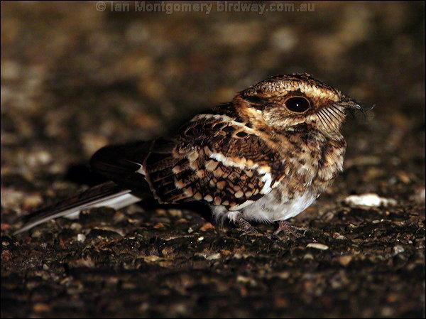 Tailed Nightjar White-tailed Nightjar