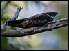 Click here to enter White-throated Nightjar photo gallery
