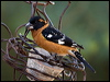 Click here to enter Black-headed Grosbeak photo gallery