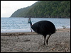 Click here to enter Southern Cassowary photo gallery