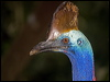 Click here to enter gallery and see photos of Southern Cassowary and Emu