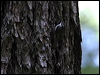 Click here to enter gallery and see photos of: Eurasian, American Treecreeper