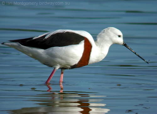 Banded Stilt (c) I Montgomery