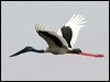 Click here to enter gallery and see photos of: Painted, Storm's, White, Black-necked Stork/Jabiru