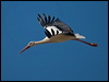 Click here to enter White Stork photo gallery