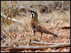 Click here to enter gallery and see photos of: Spotted, Chestnut, Cinnamon and Chestnut-breasted Quail-thrushes; Eastern Whipbird; Chirruping Wedgebill