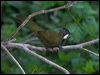 Click here to enter Eastern Whipbird photo gallery