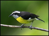 Click here to enter gallery and see photos of: Bananaquit.