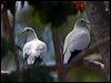 Click here to enter Torresian Imperial Pigeon photo gallery