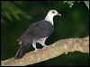 Click here to enter White-headed Pigeon photo gallery