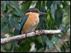 Click here to enter Sacred Kingfisher photo gallery