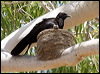 Click here to enter gallery and see photos of: White-winged Chough; Apostlebird.