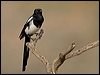 Click here to enter Black-billed Magpie photo gallery
