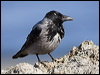 Click here to enter Hooded Crow photo gallery
