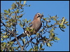 Click here to enter Eurasian Jay photo gallery