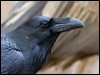 Click here to enter Common Raven photo gallery