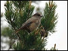 Click here to enter Siberian Jay photo gallery