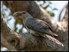 Click here to enter Channel-billed Cuckoo photo gallery