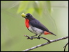 Click here to enter gallery and see photos of: Yellow-rumped and Orange-bellied Flowerpeckers; Mistletoebird.