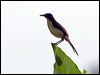 Click here to enter gallery and see photos of: Black-capped Donacobius.