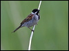 Click here to enter Reed Bunting photo gallery