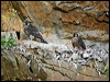Click here to enter Peregrine Falcon photo gallery
