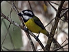 Click here to enter gallery and see photos of: Crested Shrike-Tit