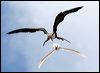 Click here to enter gallery and see photos of: Magnificent, Greater, Lesser, Christmas Island Frigatebird