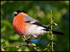 Click here to enter gallery and see photos of: Eurasian Chaffinch; Brambling; European Serin; European Greenfinch; Pine Siskin; Lesser and European Goldfinches; Hoary Redpoll; Twite; Eurasian Linnet; Plain Mountain-Finch; Gray-crowned Rosy-Finch; House Finch; Eurasian Bullfinch and Evening Grosbeak.
